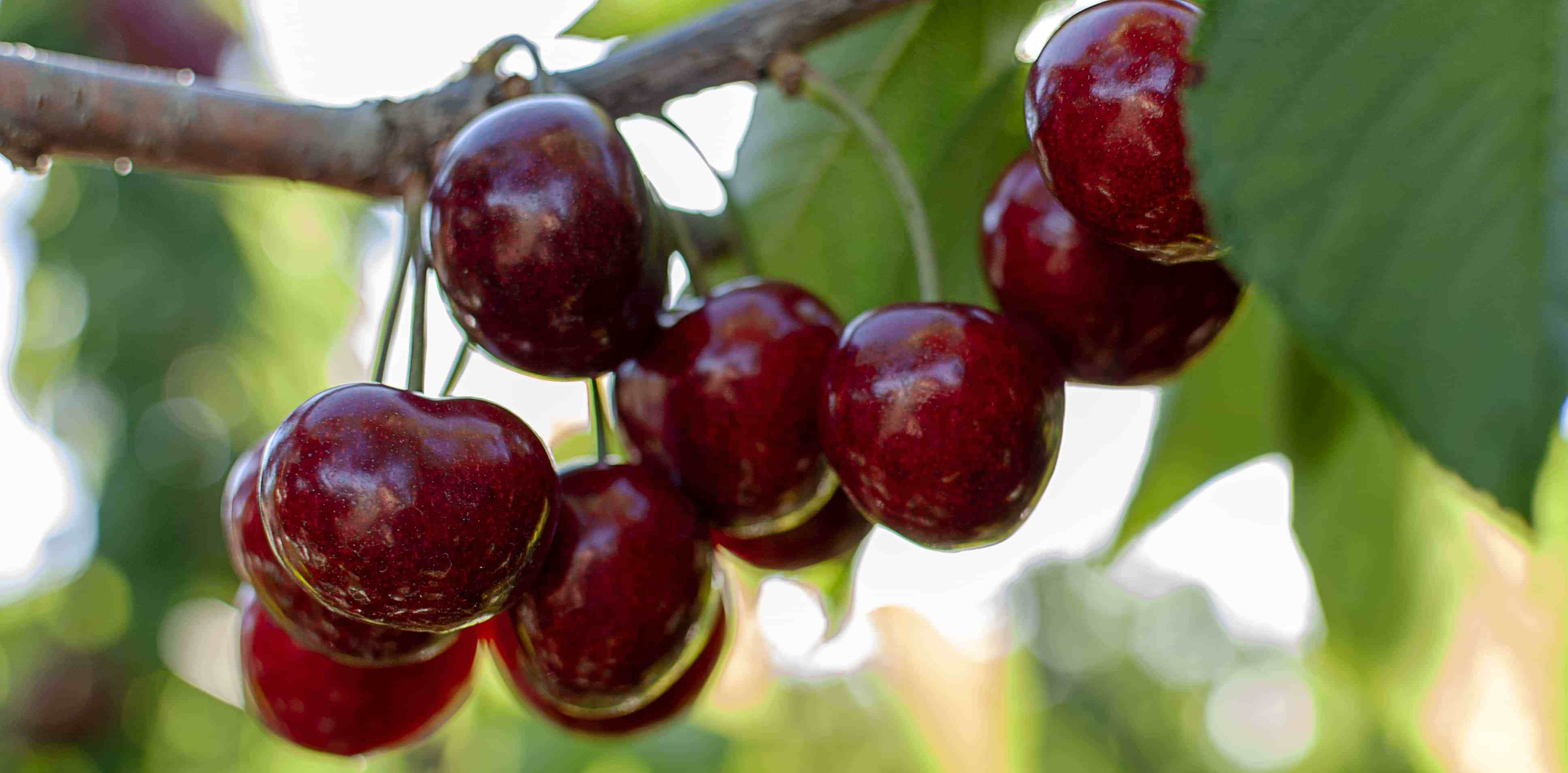 bigstock-big-red-cherries-with-leaves-a-304585810.jpg