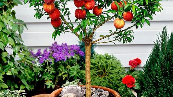 fruit-trees-in-pots-attractive-best-fruits-to-grow-for-containers-balcony-garden-web-1-585x329.jpg