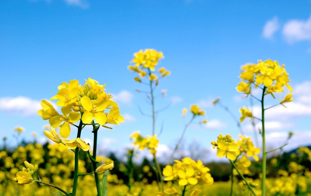 blossom-daffodil-flora-flower-plant-mimosa-countryside-farm-nature-out.jpg