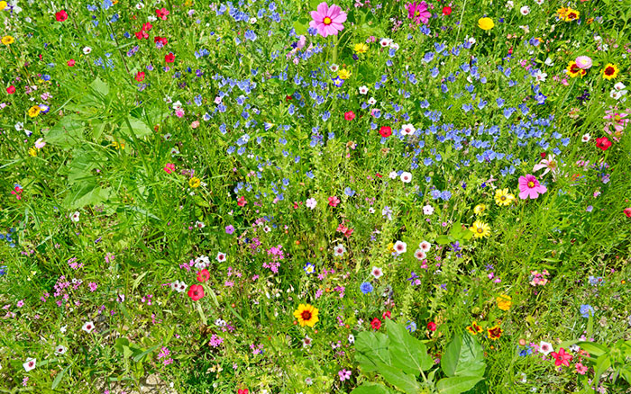 grass-meadowflowers-in-lawn.jpg
