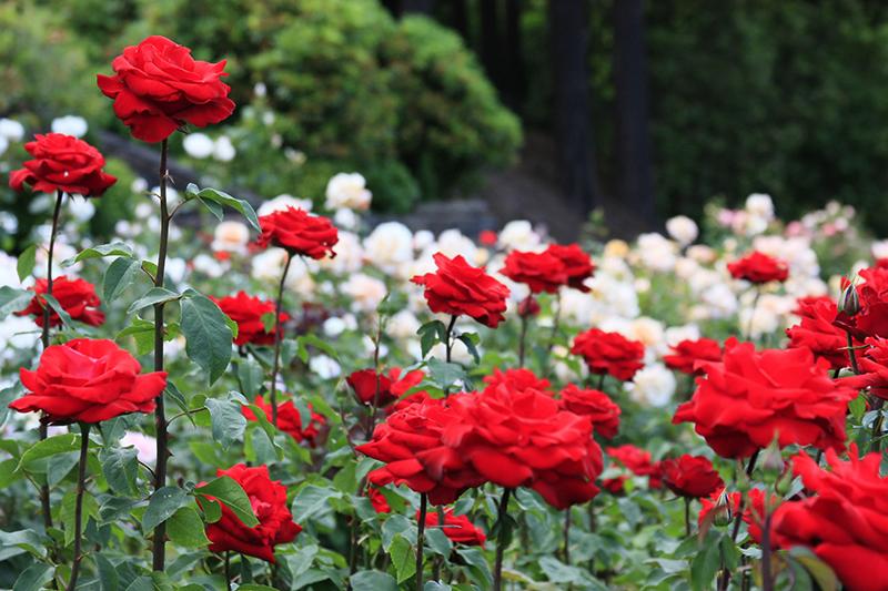 portland_rose_garden_washington_park_oregon_08.jpg