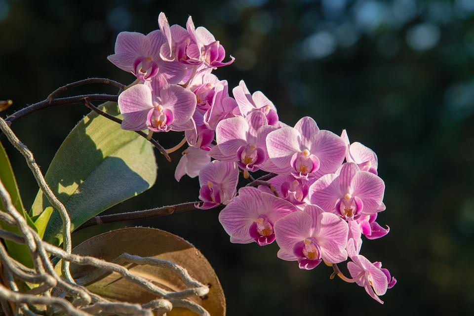 phalaenopsis-5216248_960_720.jpg