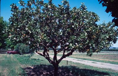 pistachio-tree.jpg