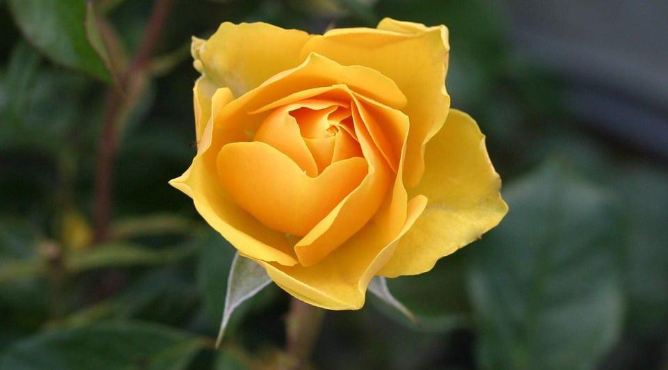 yellow-roses-1.jpg