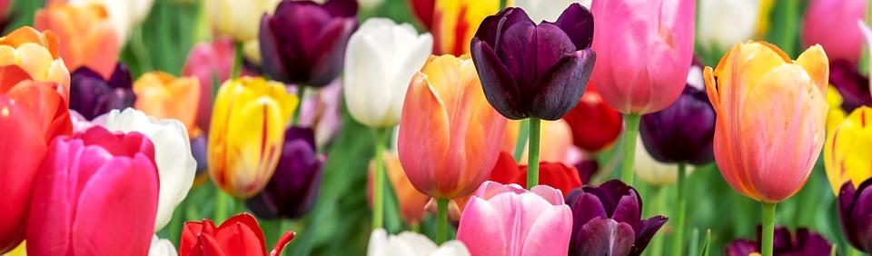 tulip-3365630_960_720.jpg