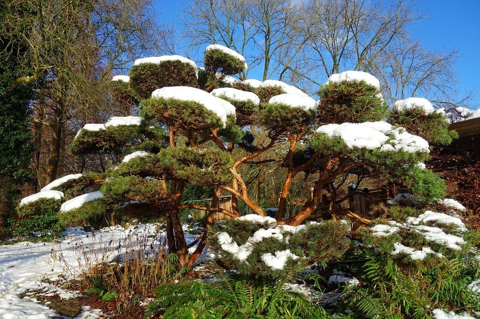 japanese-pine-3018808_960_720.jpg