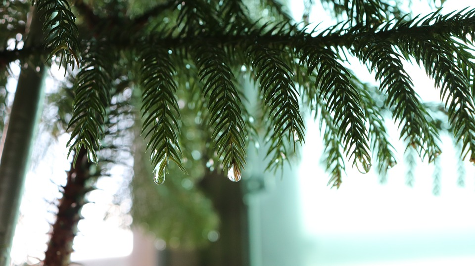 pine-2693466_960_720.jpg