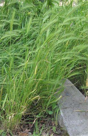 389px-Kruipertje_Hordeum_murinum_plant.jpg