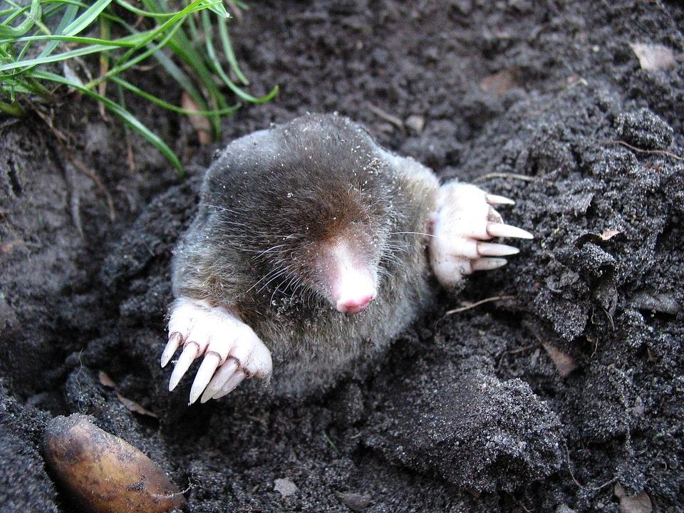 mole-13299_960_720.jpg
