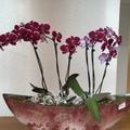 Hogyan gondozd a Phalenopsis (lepke) orchideát?