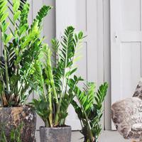 Zamioculcas - így szaporítsd otthon