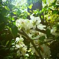 Fehér virágú japánbirs - Chaenomeles japonica  Alacsony növésű, sűrű ágrendszerű, tavasszal virágzó cserje. Alacsony sövénynek is alkalmas Üzletükben fehér, rózsaszín és bordó színben is megtalálod  #japánbirs #chaenomeles #chaenomelesjaponica #japánkert #tavaszivirág #virágzócserje #virágossövény #sövény #kertitippek #dabasikertészet #kertészet #kerttervezés #czeroczkifaiskola #czeroczkidiszfaiskola #mitültessek #szeretemakertem #garden #kert #kertészet #cserje