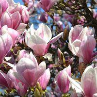 Tulipánfa Liliomfa ugyanaz vagy különböző?