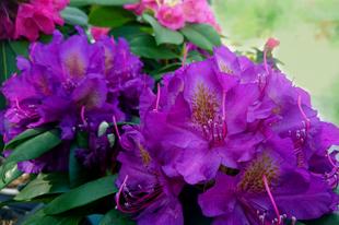 5 tipp a Rhododendron gondozásához