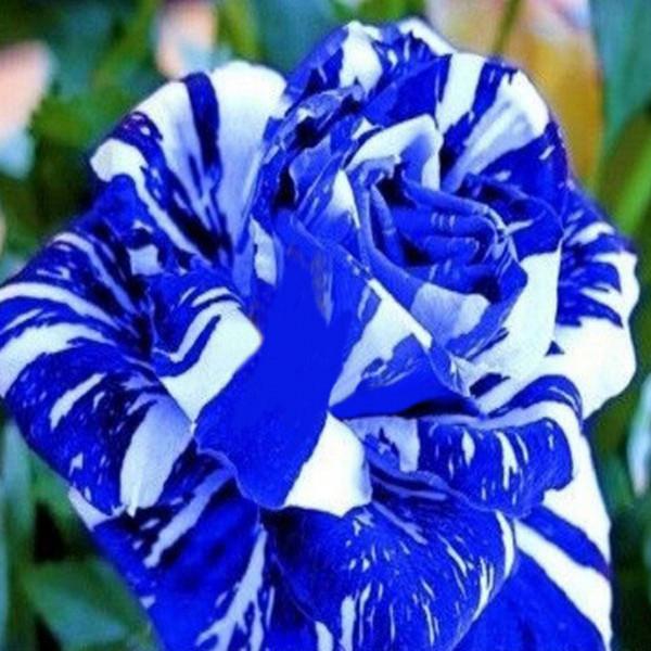 big-sales-blue-dragon-rose-seeds-rare-beautiful-stripe-rose-bush-plant-garden-and-yard-flower.jpg