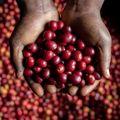Nem tudjuk elképzelni kávé nélkül az életet, pedig húsz éven belül luxuscikké válhat