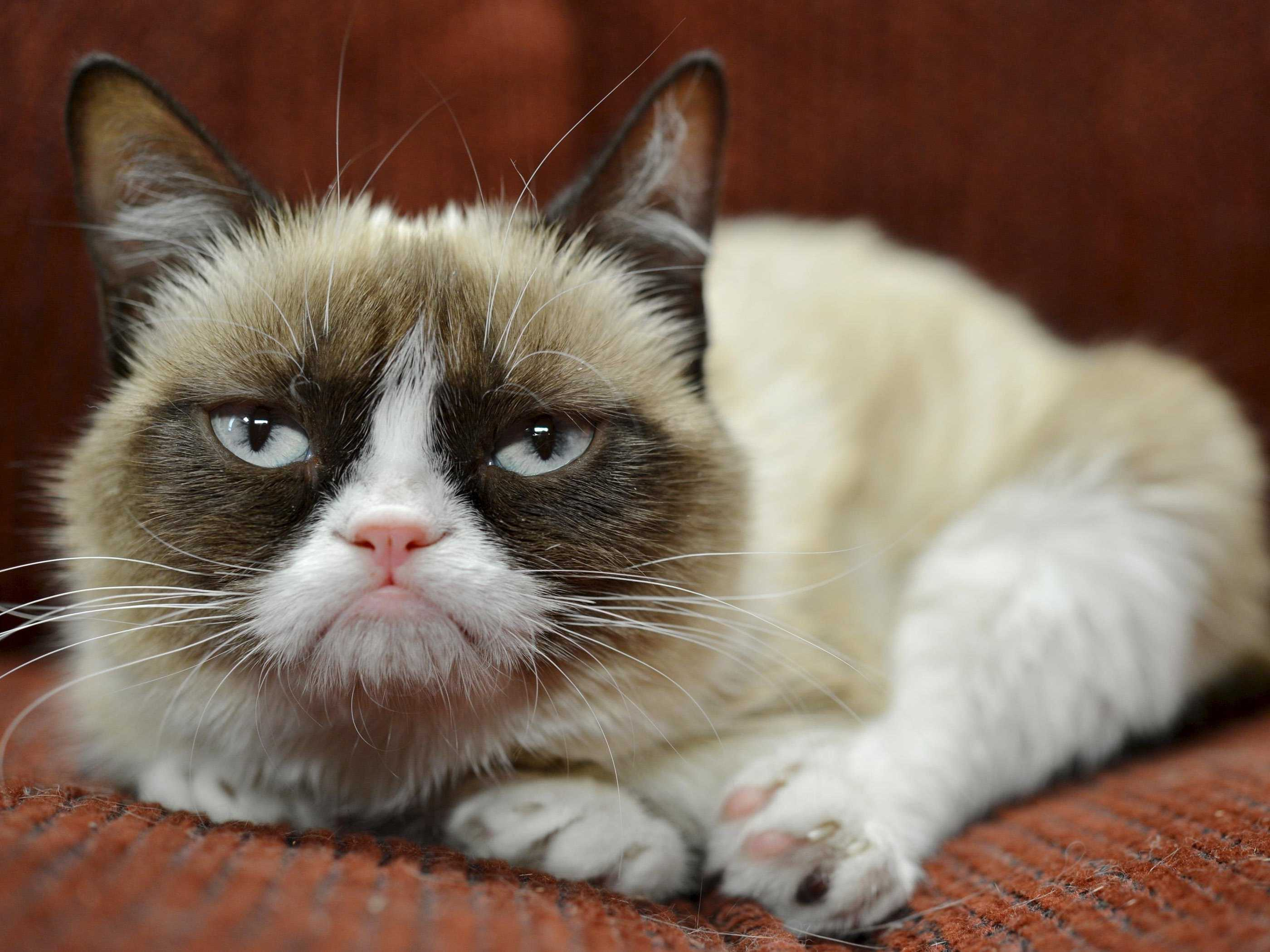 internet-famous-grumpy-cat-just-landed-an-endorsement-deal-with-friskies.jpg