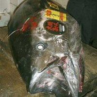 Húszmilliót fizettek egyetlen tonhalért