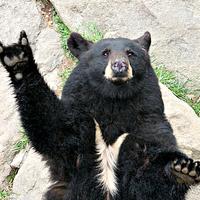 Medvék és a metál