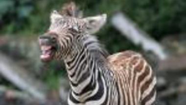 Gonosz zebra