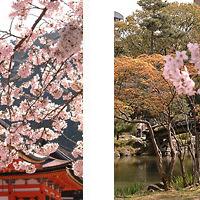 Barangoló: Sakura-ünnep, Japán
