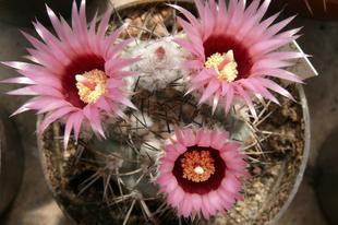 A virágzó sivatag növényei a Füvészkertben május 19-20-21-ig