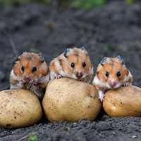 A nagy krumplirablás hiteles története
