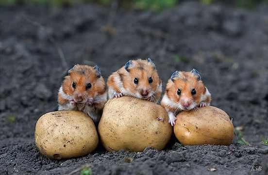 krumplitolvajok.jpg