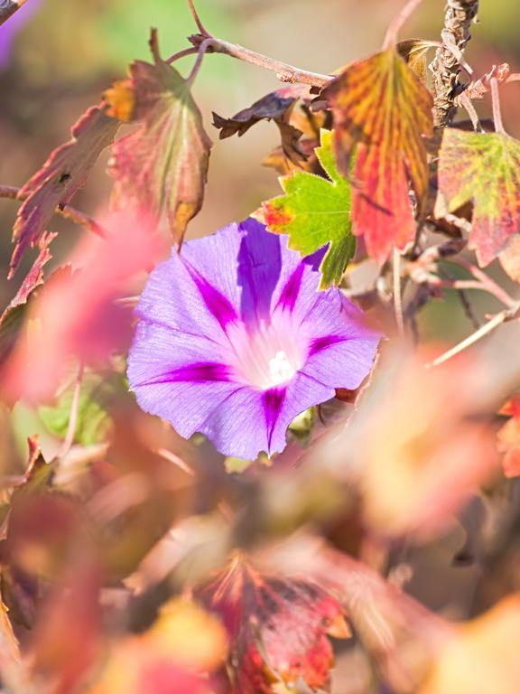 Késői virágos