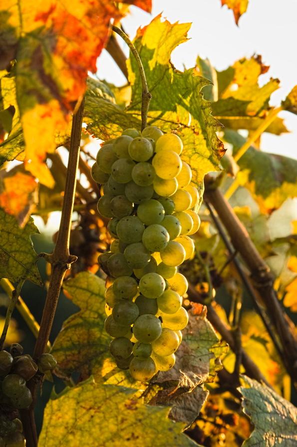 Van még szőlő :)