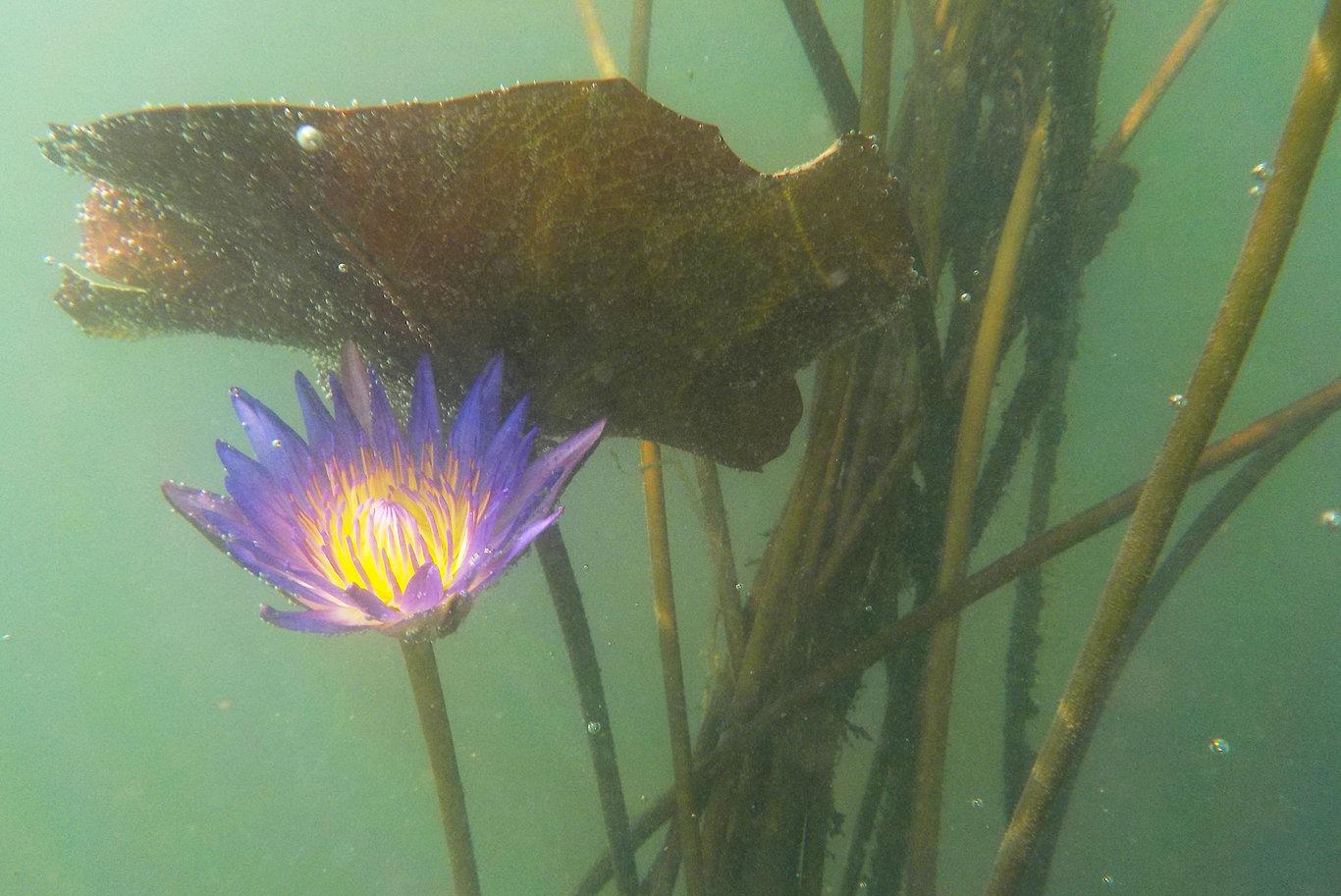 Tavirózsa a víz alatt