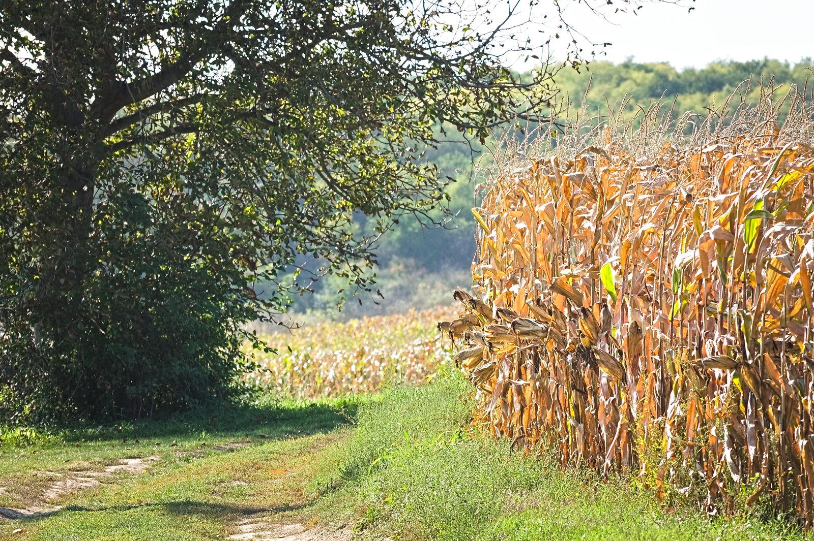Kukoricahadsereg