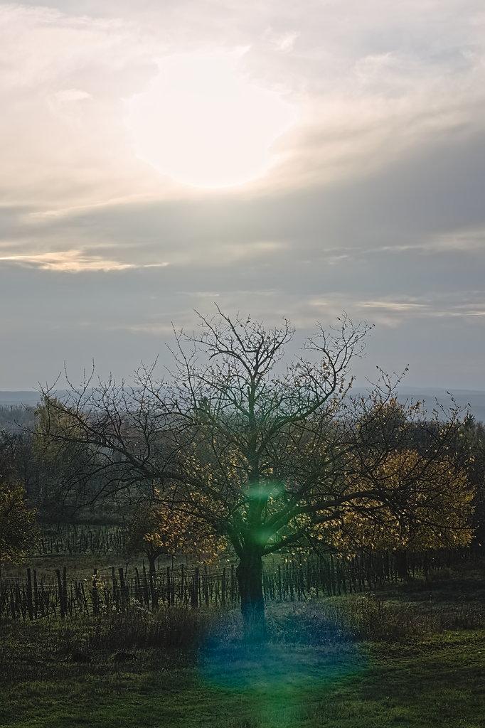 Őszi napfény a szőlőkben