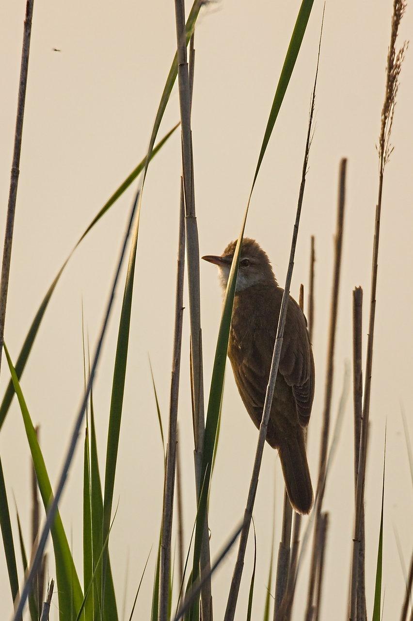 Nádi poszáta. Na ez az a madár, amiből csak annyit látsz, hogy valami beröppen a nádasba, de meg nem találod, mert bemegy a sűrűjébe. Ő is csak azért lett meg, mert kiült a tetejébe.