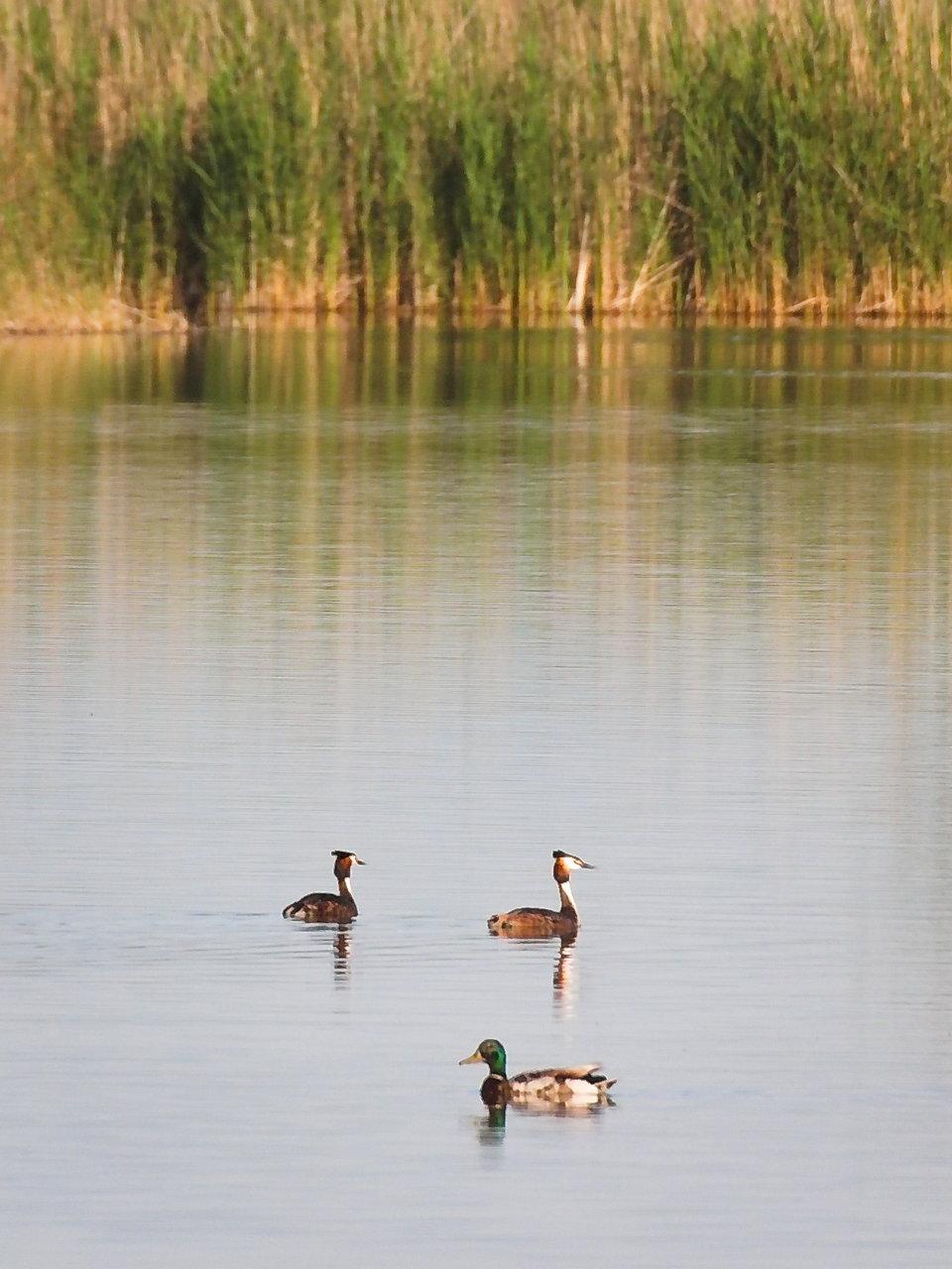 Kacsavonták találkozása tilos - pláne, hogy a felső kettő nem kacsa, hanem vöcsök