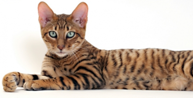 toyger.png