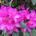 Kámi arborétum - rhododendron virágzás végén