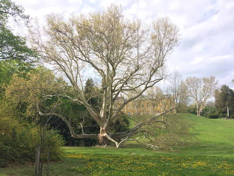Hatalmasra nőtt platánfa