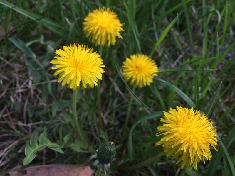 Pitypang sárga virágai
