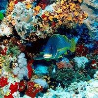 Négy évtized múlva elpusztulhat a Nagy Korallzátony