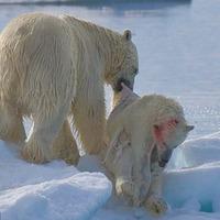 Brutális képek a kannibál jegesmedvéről