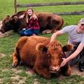 A tehénölelgetés a legújabb wellness-őrület