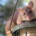 Kiéhezett óriáspatkányok árasztják el az otthonokat