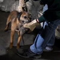 Így vadásznak kutyával patkányra