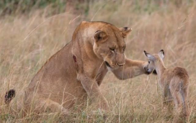 oroszlán kisantilop.jpg
