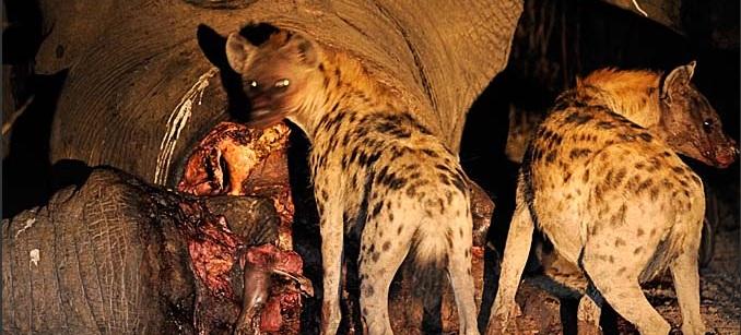zambia-luangwa-hyena-night-004.3.jpg