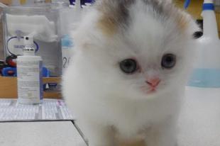 Az állatorvos 54 év alatt kétszer látott ilyen különleges kiscicát
