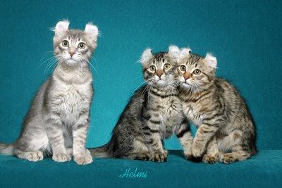 american-curl-kittens.jpg