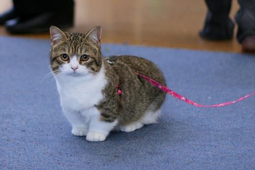 munchkin-cat-10.jpg