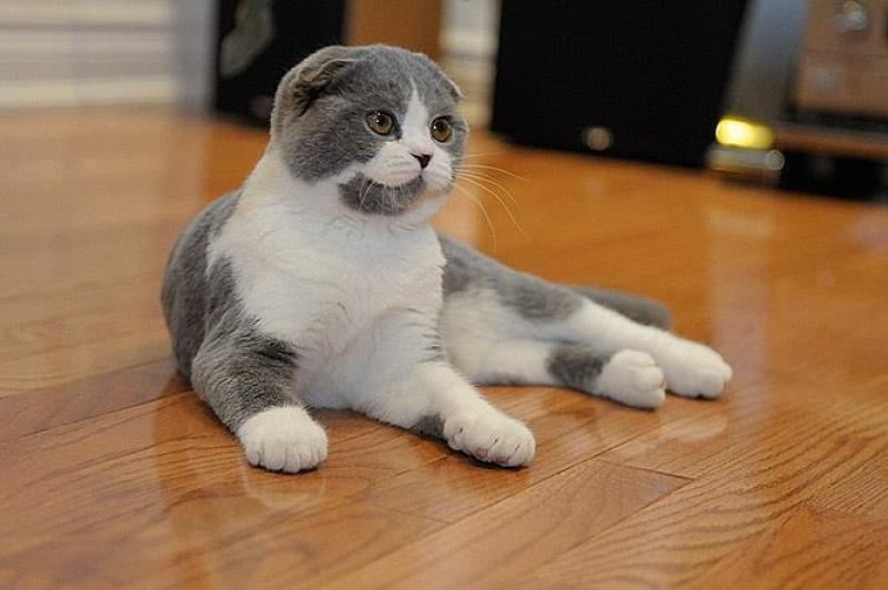 scottish-fold-cat-pictures-5.jpg